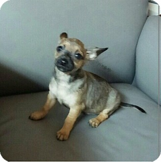 Chihuahua Puppy for adoption in Miami, Florida - Dexter