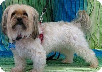 Shih Tzu/Yorkie, Yorkshire Terrier Mix Dog for adoption in Eden Prairie, Minnesota - THEO