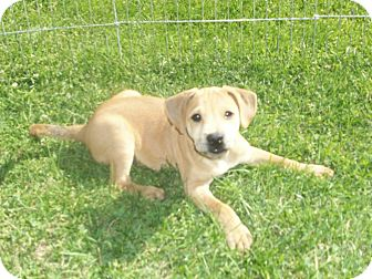 Shar Pei/Labrador Retriever Mix Puppy for adoption in Liberty Center, Ohio - Tenley
