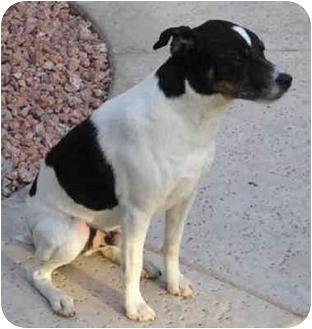 Jack Russell Terrier Dog for adoption in Phoenix, Arizona - OREO