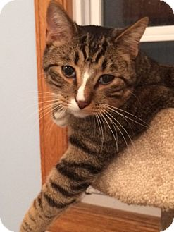 Domestic Shorthair Cat for adoption in Dumfries, Virginia - Buddy