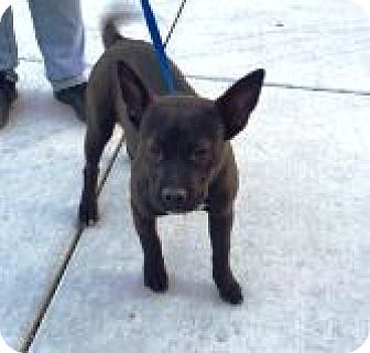 Pit Bull Terrier Mix Puppy for adoption in Las Vegas, Nevada - Maddie