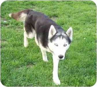 Siberian Husky Dog for adoption in Belleville, Michigan - Ace