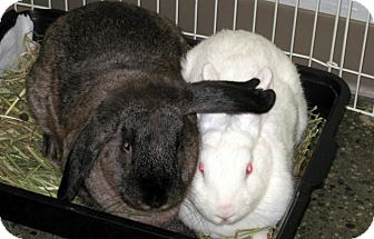 Lop, Holland Mix for adoption in Los Angeles, California - Harvey