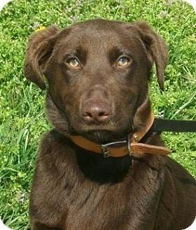 Labrador Retriever Puppy for adoption in Newburgh, Indiana - Rigby- Sweet Boy !