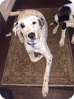 Dalmatian/Labrador Retriever Mix Puppy for adoption in Elgin, Illinois - Izzy *adoption pending