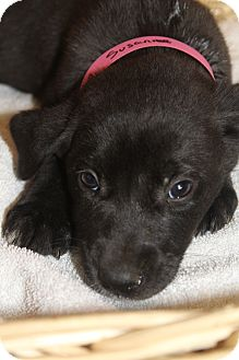 Labrador Retriever Mix Puppy for adoption in Waldorf, Maryland - Susan