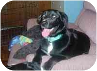 Labrador Retriever Mix Puppy for adoption in Guelph, Ontario - Skye