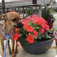 Adopt A Pet :: Tangerine - Shawnee Mission, KS