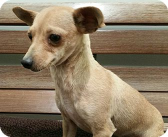 Chihuahua Mix Dog for adoption in Valencia, California - Paco