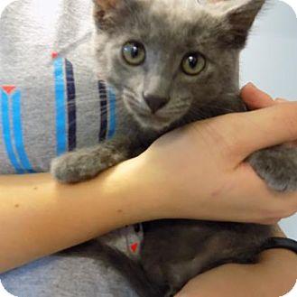 Domestic Shorthair Kitten for adoption in Edwardsville, Illinois - Quantum