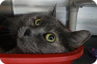 Domestic Shorthair Cat for adoption in Elyria, Ohio - Munchkin