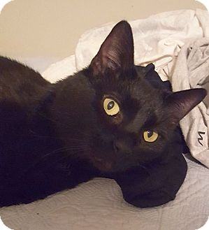 Domestic Shorthair Cat for adoption in Homewood, Alabama - Hitch