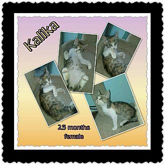 Calico Kitten for adoption in Richmond, California - Kalika