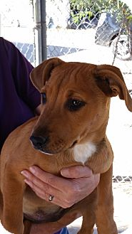 Shepherd (Unknown Type) Mix Puppy for adoption in Tucson, Arizona - Greta