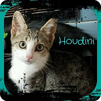 Domestic Shorthair Kitten for adoption in Warren, Michigan - Houdini