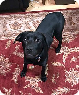 Labrador Retriever Mix Dog for adoption in Nashville, Tennessee - Delilah