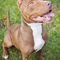 American Staffordshire Terrier Dog for adoption in Darien, Georgia - Indie