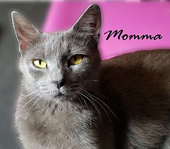 Domestic Shorthair Cat for adoption in Canton, Georgia - Momma