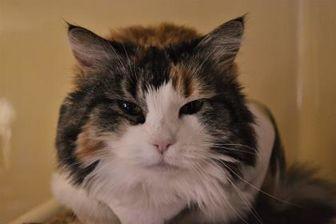 Domestic Longhair/Domestic Shorthair Mix Cat for adoption in Penn Yan, New York - Allie Grace