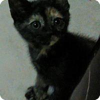 Adopt A Pet :: Mindy's Dollbabies - Bear, DE