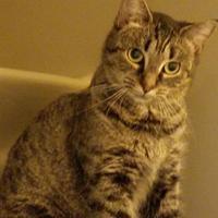 Adopt A Pet :: Tiger Lilly - Williamsport, PA