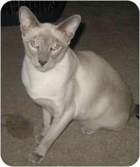 Siamese Cat for adoption in Davis, California - Vanilli
