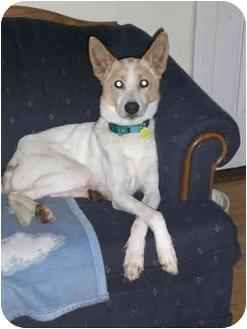 Collie/Spaniel (Unknown Type) Mix Dog for adoption in Waukesha, Wisconsin - Gunner