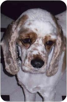 Cocker Spaniel Dog for adoption in Owatonna, Minnesota - Dottie