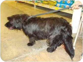 Petit Basset Griffon Vendeen/Terrier (Unknown Type, Medium) Mix Dog for adoption in Nichols Hills, Oklahoma - Terry