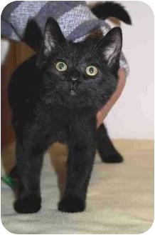 Domestic Shorthair Cat for adoption in Toledo, Ohio - Tori
