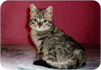 Domestic Shorthair Cat for adoption in Barrie, Ontario - Toad