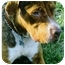 Photo 2 - American Pit Bull Terrier/Bloodhound Mix Dog for adoption in Freeport, New York - Charlie