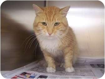 Domestic Shorthair Cat for adoption in Rockingham, North Carolina - Bill