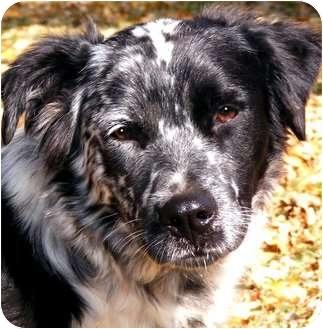 Border Collie/Australian Shepherd Mix Dog for adoption in Wakefield, Rhode Island - BIRDY(WOW!!! SO SMART!!!)