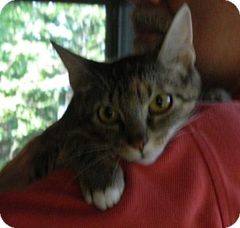 Domestic Shorthair Cat for adoption in Troy, Ohio - Blossom