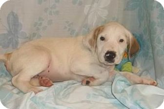 American Bulldog Mix Puppy for adoption in South Jersey, New Jersey - Knight