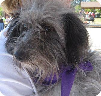 Schnauzer (Standard)/Poodle (Miniature) Mix Dog for adoption in Kansas City, Missouri - Emma