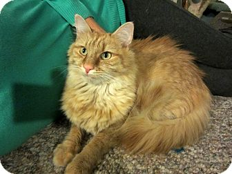 Maine Coon Cat for adoption in Arlington, Virginia - Oliver