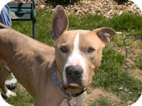 American Pit Bull Terrier/German Shepherd Dog Mix Dog for adoption in Smithtown, New York - ADOPTED!!!