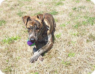 Greyhound/Greyhound Mix Dog for adoption in CHICAGO, Illinois - NORMAN