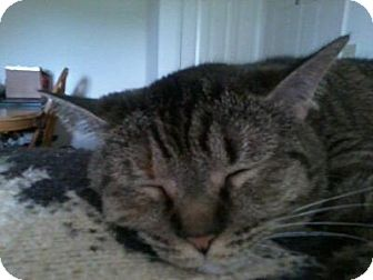 Domestic Shorthair Cat for adoption in Franklin, West Virginia - Skittles