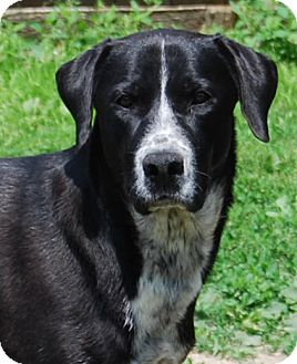 Labrador Retriever/Hound (Unknown Type) Mix Dog for adoption in Chicago, Illinois - Sir Paul
