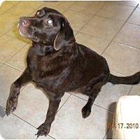 Adopt A Pet :: Godiva - Altmonte Springs, FL