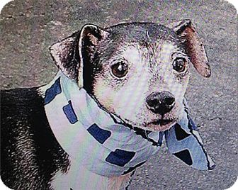 Rat Terrier/Chihuahua Mix Dog for adoption in Freeport, New York - Junior