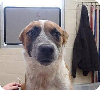 Australian Cattle Dog Mix Puppy for adoption in Las Vegas, Nevada - Max