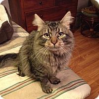 Adopt A Pet :: Cornelius Oswald Fudge - St. Louis, MO