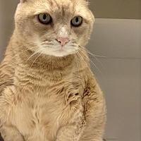 Domestic Shorthair Cat for adoption in Richboro, Pennsylvania - Chris Farley