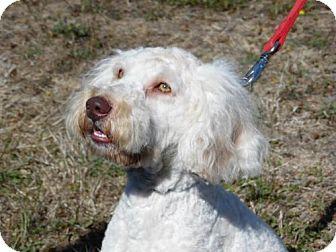 Poodle (Miniature)/Golden Retriever Mix Dog for adoption in Reedsport, Oregon - Beau