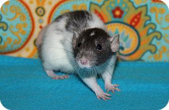 Rat for adoption in Austin, Texas - Impala